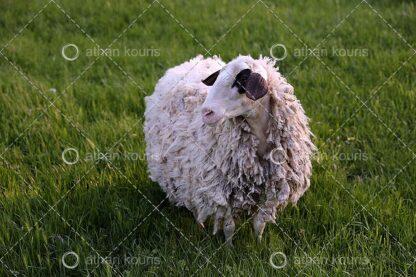 photo Πρόβατο P-10015